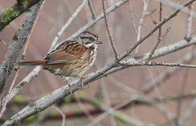 Song Sparrow Poster by Andrew Johnson