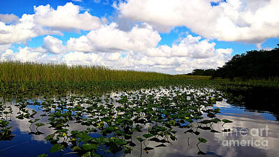 Spatterdock In The Everglades Poster by Cheryl Young