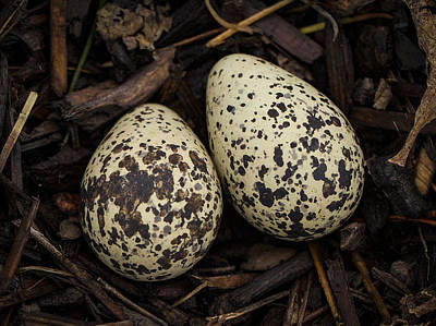 Speckled Killdeer Eggs By Jean Noren Poster by Jean Noren