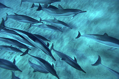Spinner Dolphins Poster by Monica and Michael Sweet