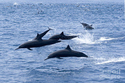 Spinner Dolphins Poster by Rick Gaffney - Printscapes