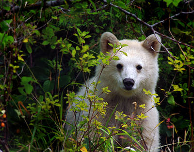 Spirit Bear Aka Kermode Cub Poster by Melody Watson