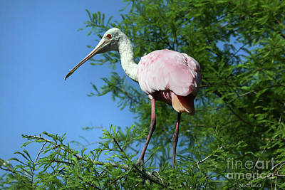 Spoonbill In A Tree Poster by Deborah Benoit