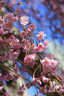 Spring Pink Blossoms On Blue Poster by Carol Groenen