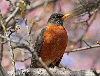 Spring Robin Poster by Donna Kennedy
