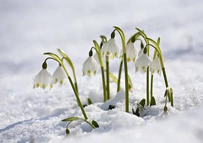 Spring Snowflake Leucojum Vernum Poster by Konrad Wothe