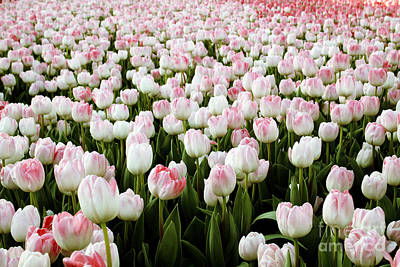 Spring Tulips Poster by Linda Woods