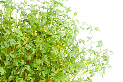 Sprouts Of Lepidium Sativum Or Cress Growing  Poster by Arletta Cwalina