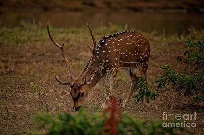 Sri Lankan Axis Deer Poster by Venura Herath