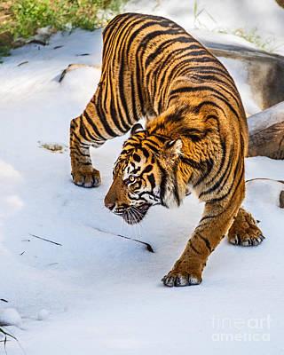 Stalking In Snow Poster by Jamie Pham