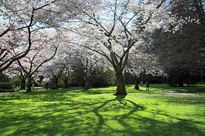 Stanley Park Cherry Blossom Poster by Pierre Leclerc Photography