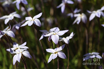 Star White Spring Flowers Poster by Joy Watson
