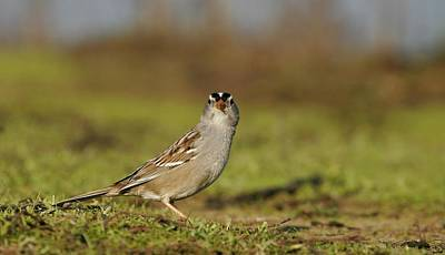 Staring Contest - White-crowned Sparrow Poster by Andrew Johnson