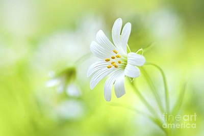 Stitchwort White Flower Poster by Jacky Parker