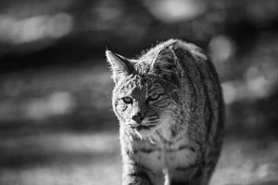 Stray Cat Strut Poster by Ian Riddler