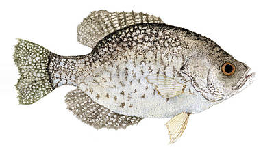Study Of A Black Crappie Poster by Thom Glace