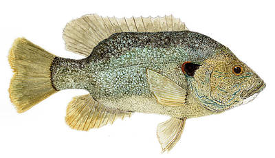 Study Of A Green Sunfish Poster by Thom Glace