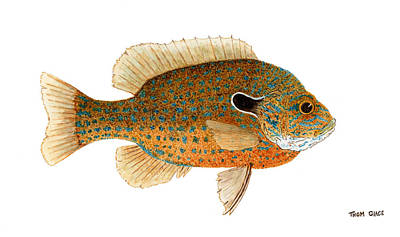 Study Of A Longear Sunfish Poster by Thom Glace