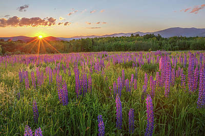 Sugar Hill New Hampshire Lupine Poster by Bill Wakeley