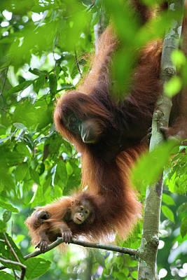 Sumatran Orangutan Pongo Abelii Two Poster by Suzi Eszterhas