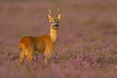 Summer Evening Roe Deer Poster by Andy Luberti