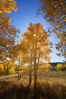 Sun Through Aspens Poster by Ron Dahlquist - Printscapes