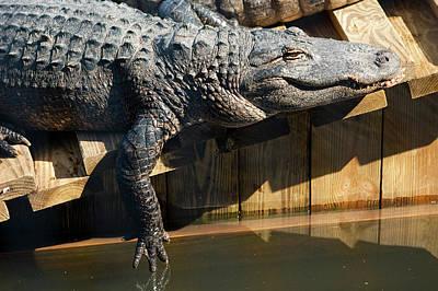 Sunbathing Gator Poster by Carolyn Marshall