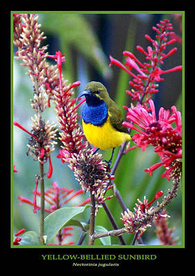 Sunbird Poster by Holly Kempe
