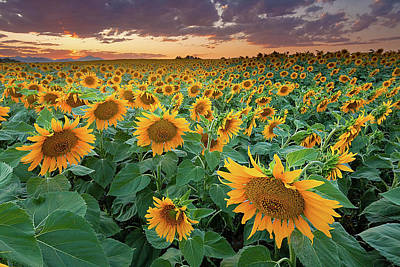 Dusk Poster featuring the photograph Sunflower Field In Longmont, Colorado by Lightvision