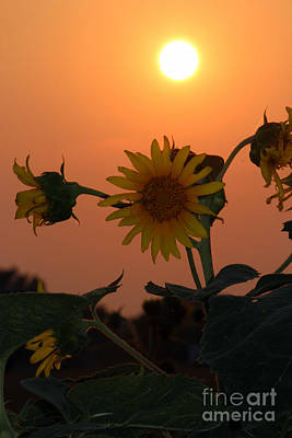 Sunflowers At Sunset Poster by Kathy  White