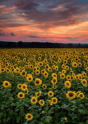 Sunflowers To The Sky Poster by Michael Blanchette