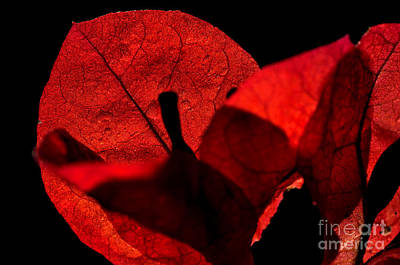 Sunlight Behind The Petals Poster by Kaye Menner
