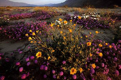Sunrise On Desert Wildflowers Poster by Tim Laman