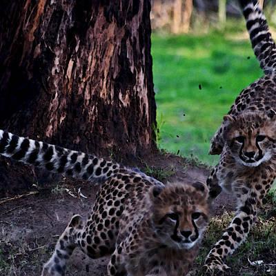 Super Fast Cheetah Cubs Poster by Miroslava Jurcik