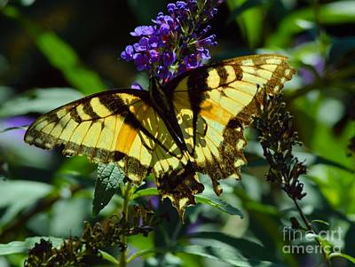 Swallowtail Butterfly #2 Poster by Robyn King