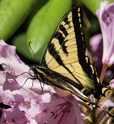 Swallowtail Butterfly Poster by Marilyn Wilson