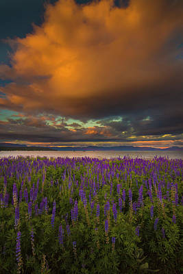 Tahoe City Lupine Sunset Poster by Jeremy Jensen