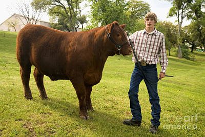 Teen And Red Angus Steer Poster by Inga Spence