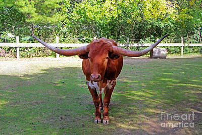 Texas Longhorn Poster by Nishanth Gopinathan