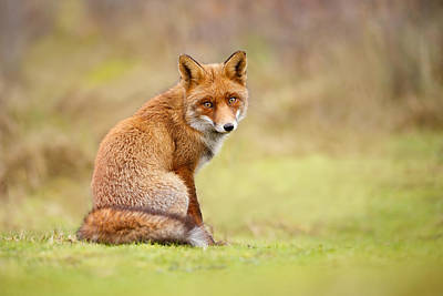 That Look - Red Fox Male Poster by Roeselien Raimond