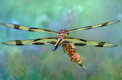 The Dragonfly Poster by Nina Bradica