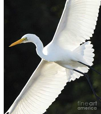 The Egret Poster by Marc Bittan