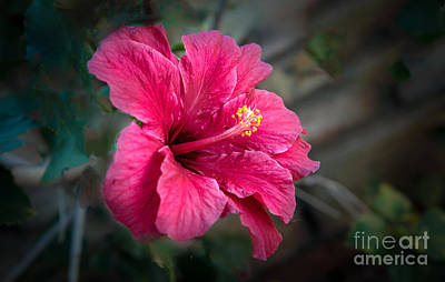 The Hibiscus Poster by Robert Bales