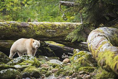 The Kermode Bear  Ursus Americanus Poster by Daisy Gilardini