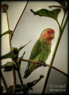 The Lovebird  Poster by Saija  Lehtonen