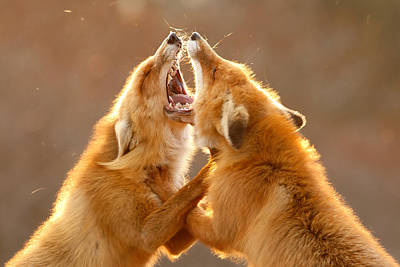 The Meeting _ Red Fox Fight Poster by Roeselien Raimond