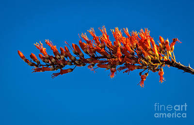 The Ocotillo Poster by Robert Bales