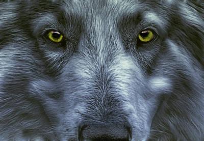 The Old Grey Wolf Poster by Joachim G Pinkawa