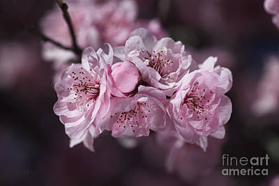 The Pink Blossom Of Prunus Poster by Joy Watson