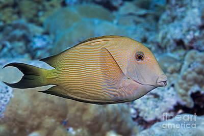 The Striated Surgeonfish  Ctenochaetus Poster by Dave Fleetham